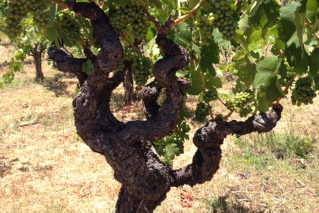 Resultado de imagem para old vines