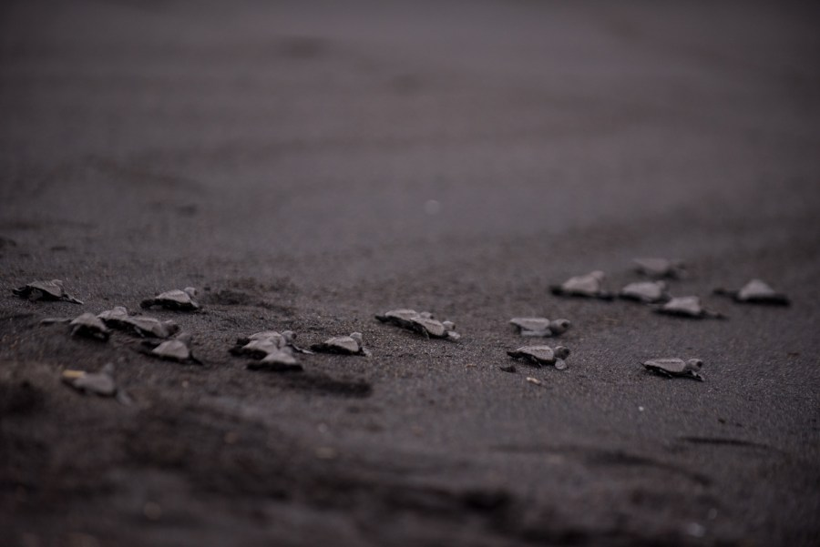 A group of sea turtles rush to the ocean in Monterrico, Guatemala. Photo: Santiago Billy/Comvite