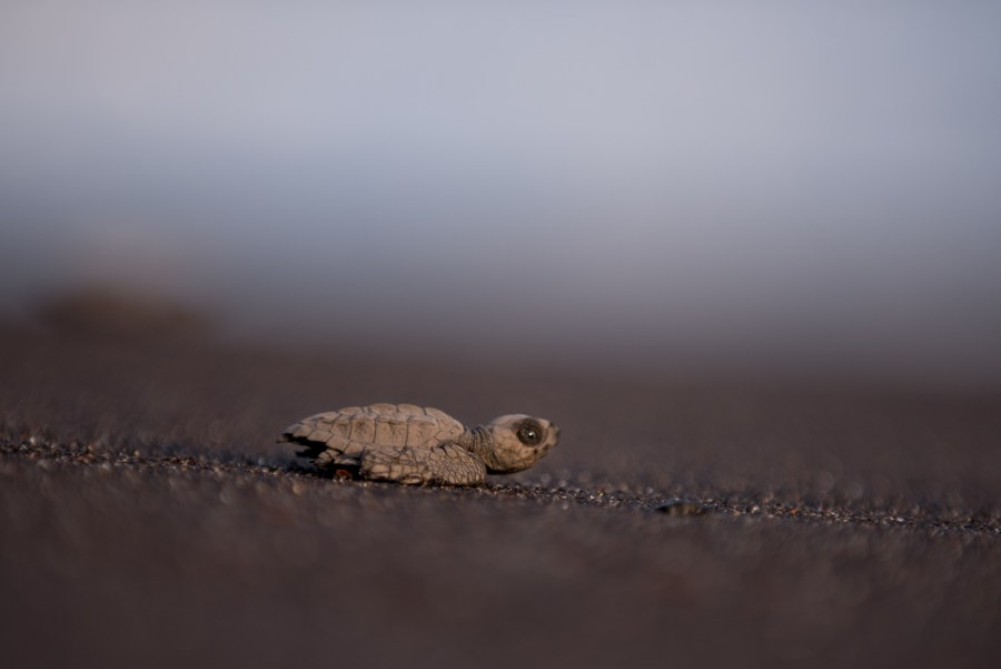 A newborn turtle races to the ocean. Photo: Santiago Billy/Comvite