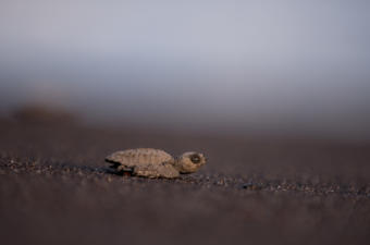 Olive Ridley, Parlama, hatchling sliding to the Pacific Ocean, Monterrico, Guatemala. Photo: Santiago Billy/Comvite