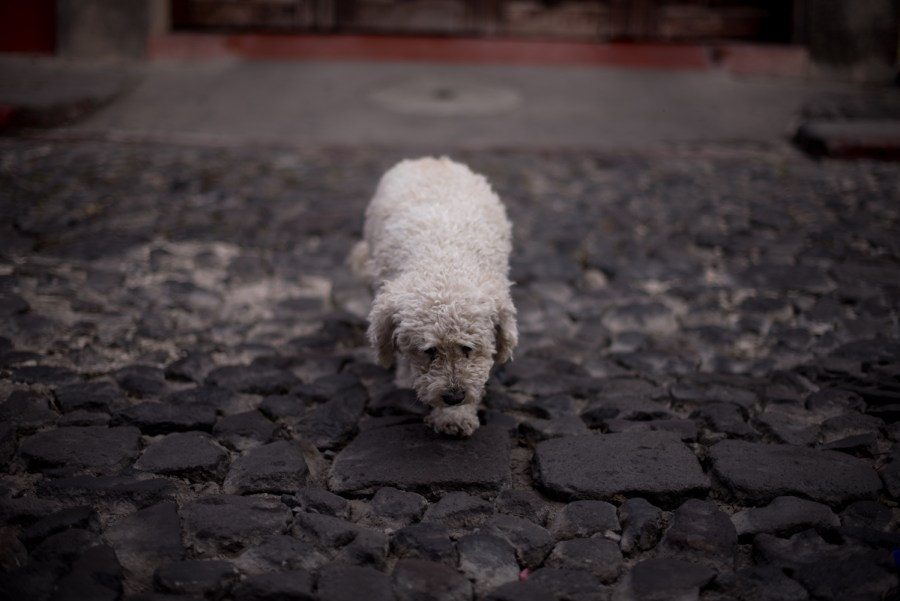 A dog crosses a street in La Antigua Guatemala. Photo: Santiago Billy