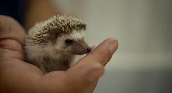 A baby hedgehog in Guatemala City. Photo: Comvite