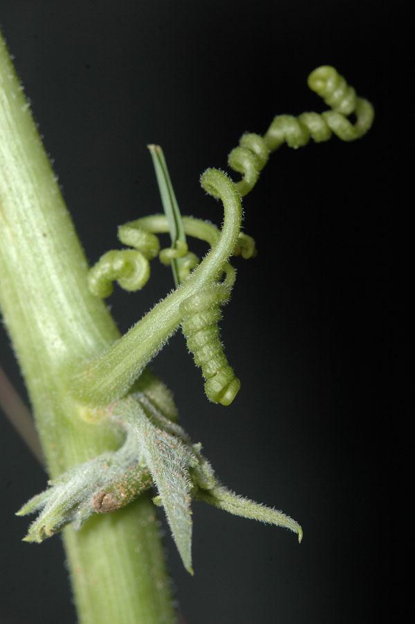 Cucurbita Foetidissima Fotos