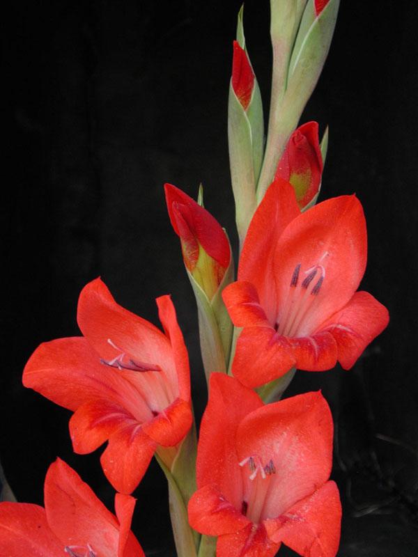 Gladiolus x hortelanus  fotos