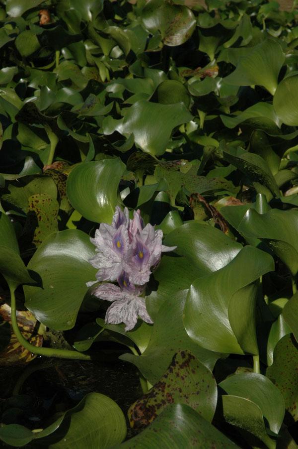 Eichhornia crassipes  fotos