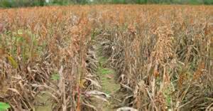 Temen-Agricultores-perdidas-millonarias-por-plagas-no-controladas-2