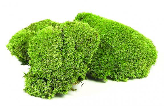 Mousse Une Plante Naturelle Stabilise Dcorative Sans