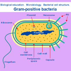 Gram Negative Cell Wall Diagram 1998 Ford Explorer Fuse Conceptdraw Samples | Science And Education — Biology