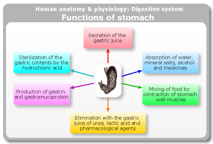 digestive system flow chart diagram wiring alternator conceptdraw samples | science and education — medicine