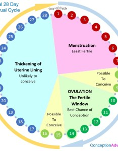 Menstrual cycle calendar and phases also conception advice rh conceptionadvice