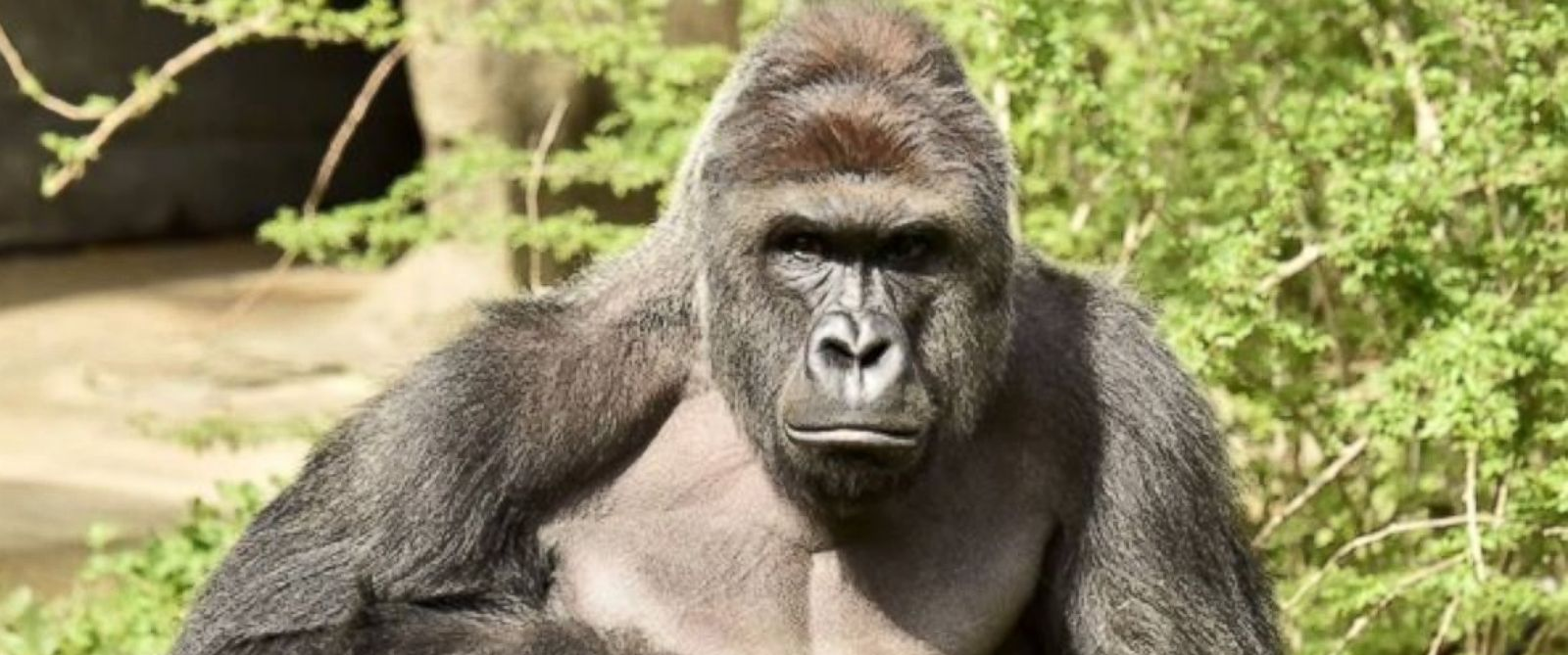 gorilla_1464620362641.jpg