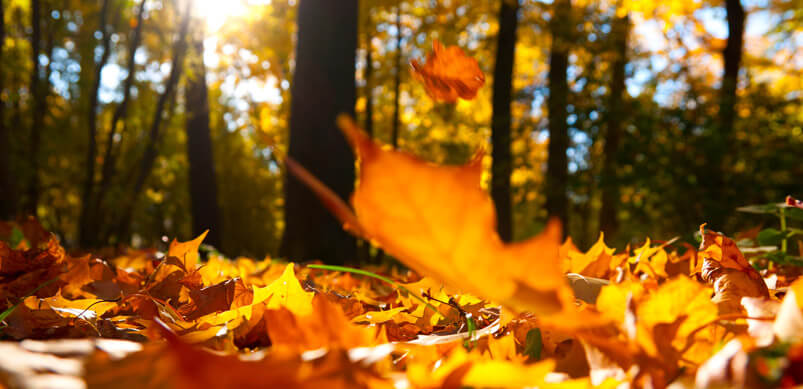 autumn leaves falling on
