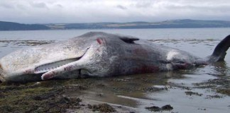 Hunstanton Beached Whale. Photo: Geograph.co.uk, Nick R
