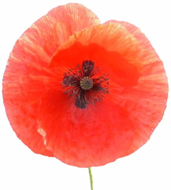 The respect of the red poppy