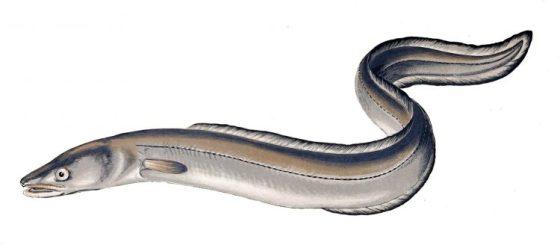 "Eels use magnetic ""sixth sense"""