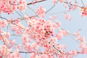 spring flower blossom by shell_ghostcage on pixabay