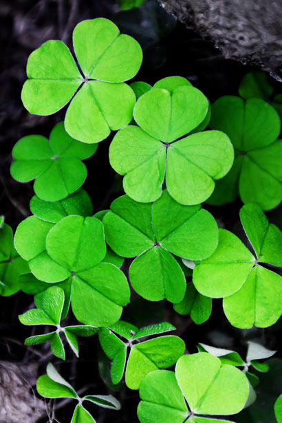 wishing for clovers