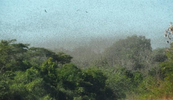 """""""Locust-19"""" set to devastate east-Africa"""