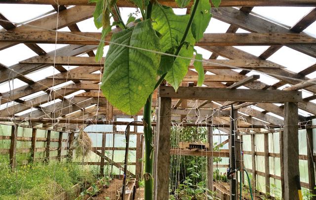 Auch im Gewächshaus des Bauerngartens wird das Gemüse durch eine Tabakpflanze vor gefräßigen Insekten geschützt. Diese bleiben an den klebrigen Blättern hängen.