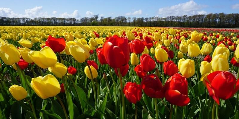Ladang Tulip