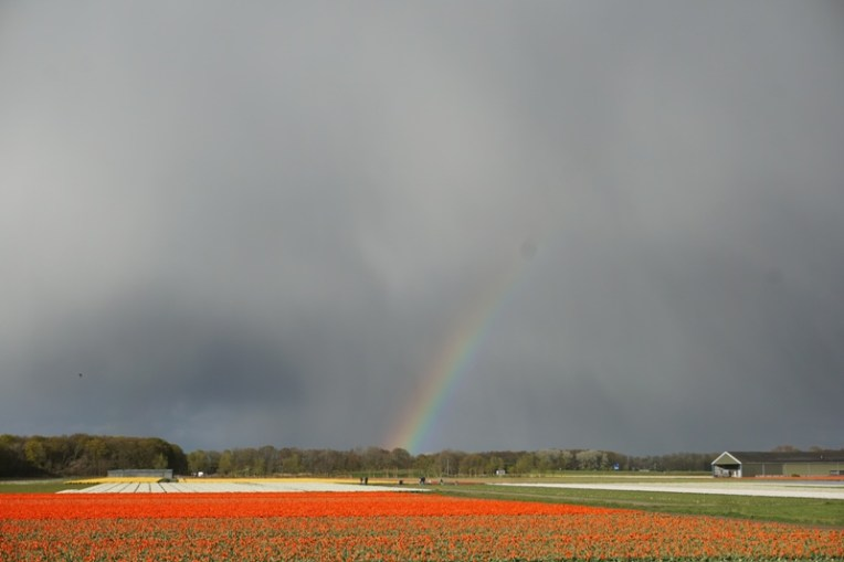Pelangi di ladang tulip.