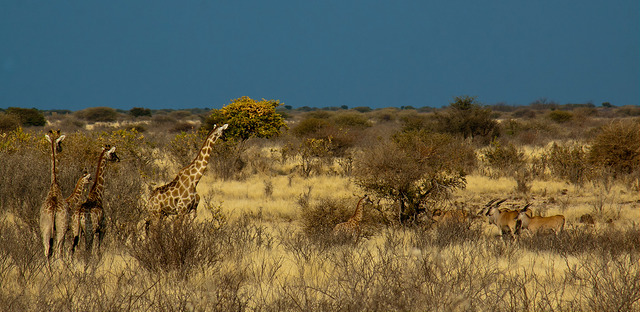 Kalahari Desert (Sumber Foto : https://www.flickr.com/photos/travelmarketingworldwide/8405144361/)