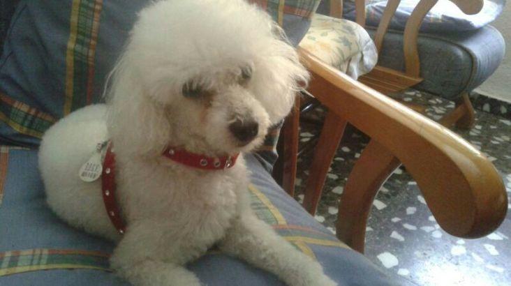 Gos perdut en l'Alcúdia de Crespins i vist per Canals