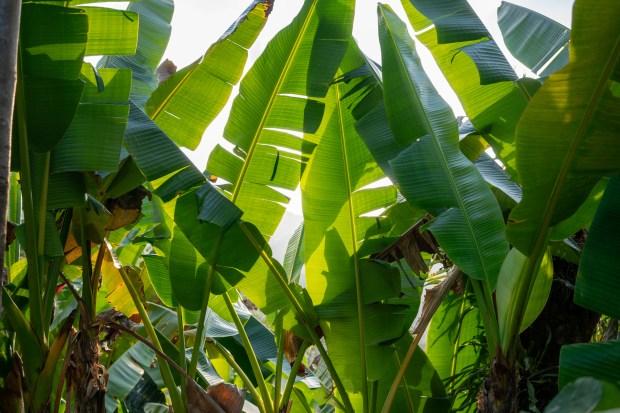 7d33ca4ede Bananatex  bolsas a partir das fibras da bananeira - Conexão Boas ...
