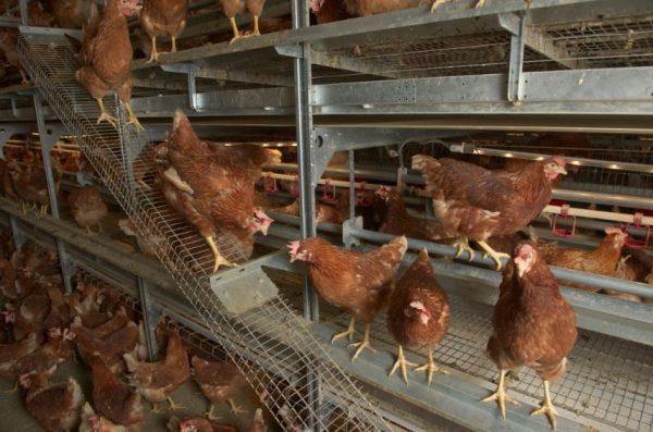 Aviary Hens