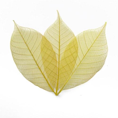 Yellow Skeleton Leaves - skeleton leaf