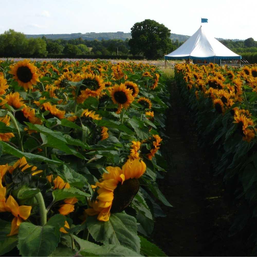 the sunflower field on the wyke manor estate