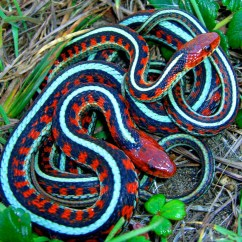 Shrew Skeleton Diagram Labeled 2006 Gmc Sierra Bose Radio Wiring California Red Sided Garter Snake