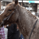South Dakota Cutting Horse Association sees increase in participation ahead of Stock Show