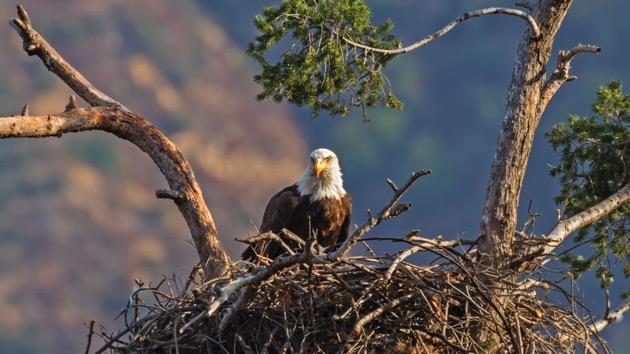 (KGrif/iStock) Eagle's nest FILE photo.