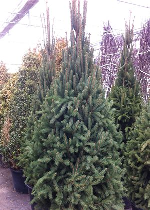 Picea abies Cupressina from Neil Vanderkruk Holdings Inc
