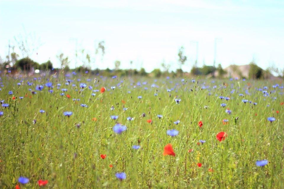 Wiese, Blumenwiese, Mohnblumen, blaue Blumen