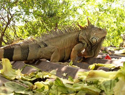 IguanariArchundia