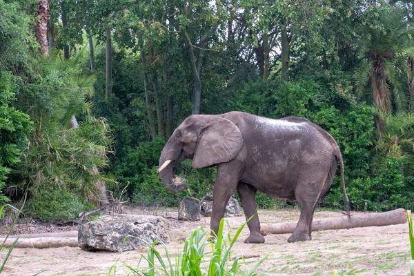 キリマンジャロ・サファリのゾウ