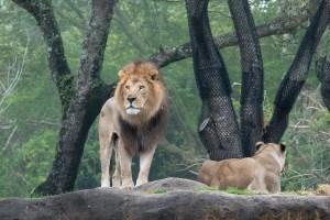 キリマンジャロ・サファリのペアグリーティングライオン