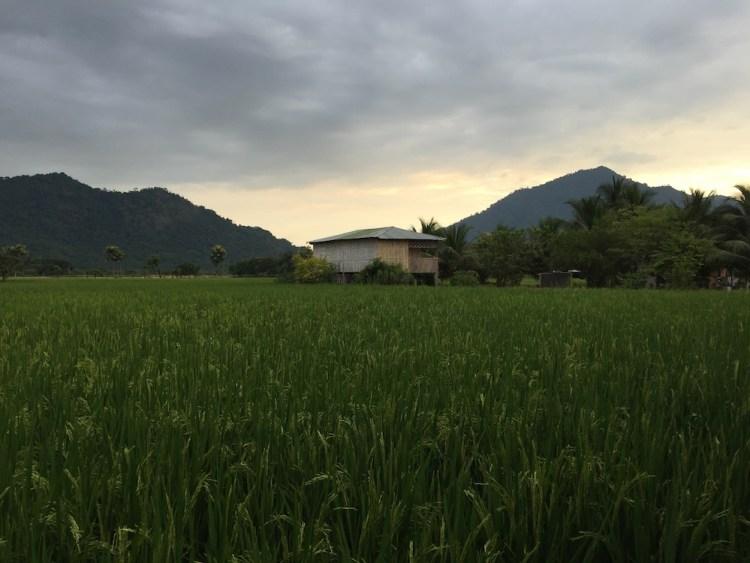Ecuador Rice Fields
