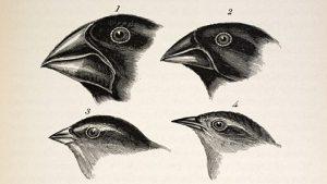 Variante snavelvormen bij Galapagos-vinken.