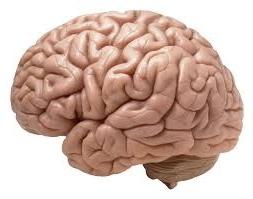 Ons brein, met veel plooien, vanaf de zijkant bekeke,
