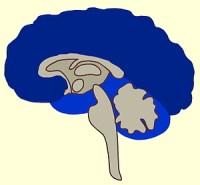 De menselijke neocortex zit vóór en boven