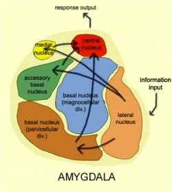 De subkernen van de amygdala