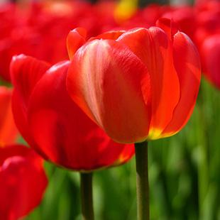 Fiore TULIPANO Consegna Fiori a domicilio