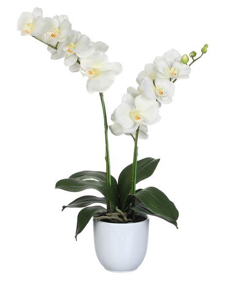 Pianta di orchidea Phalaenopsis bianca a due steli