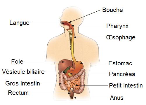 comprendre le système digestif