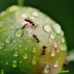 Comment se débarrasser des fourmis ?