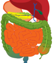 figure of a digestive system