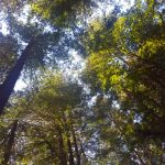 Looking up into sun-dappled redwood trees